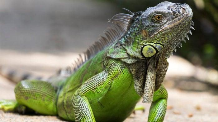 Photo of Найнебезпечніші ящірки в світі – список, опис, фото і відео